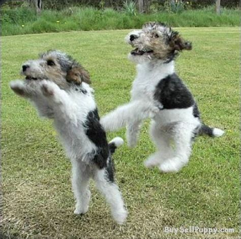 wire hair fox terrier puppies 17 best images about wire fox terriers on westminster show airedale
