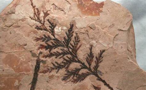 imagenes de fosiles plantas f 243 siles creciendoentreflores