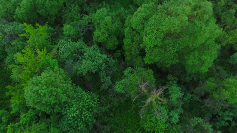 hd aerial view camera moves rising   green forest