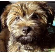 Harley The Silky Terrier/ Shih Tzu Mix  Puppies Daily Puppy