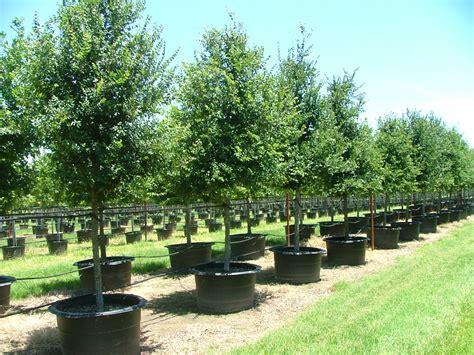 Farm Dallas by Tree Farms Dallas 28 Images Big Trees For Sale Browns