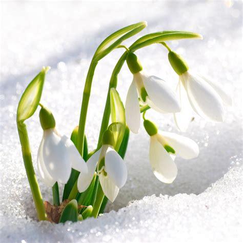 fiore bucaneve il bucaneve i testi della tradizione di filastrocche it
