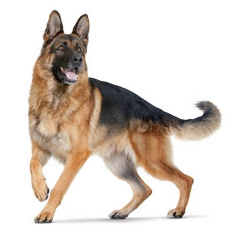 For Big Dogs - food for large breed dogs and puppies royal canin