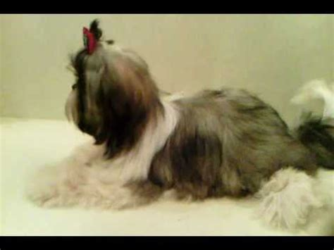 princess shih tzu for sale shih tzu puppy funnydog tv
