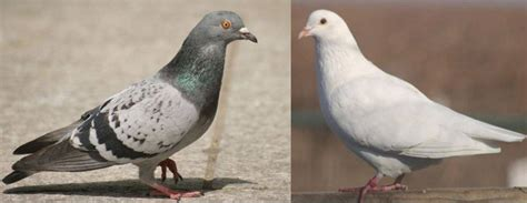 dove vs pigeon 4 key difference and different types