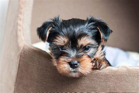 find a yorkie puppy terrier yorkie breed information