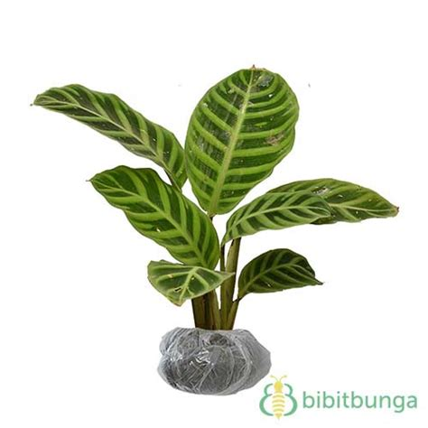 Tanaman Hias Calathea Sisir tanaman calathea zebra hijau bibitbunga
