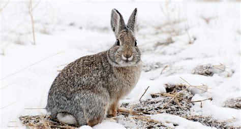 how to a to hunt rabbits how to hunt rabbits
