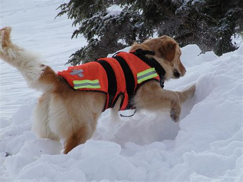 search dogs avalanche search and rescue dogs