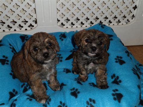 yochon puppies for sale beautiful yochon puppies neath neath port talbot pets4homes