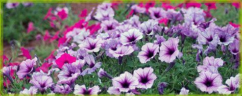 Ameisen Im Blumenk Bel 4745 by Blumen F 252 R Den Balkon Pflegeleichte Blumen F R Den Balkon