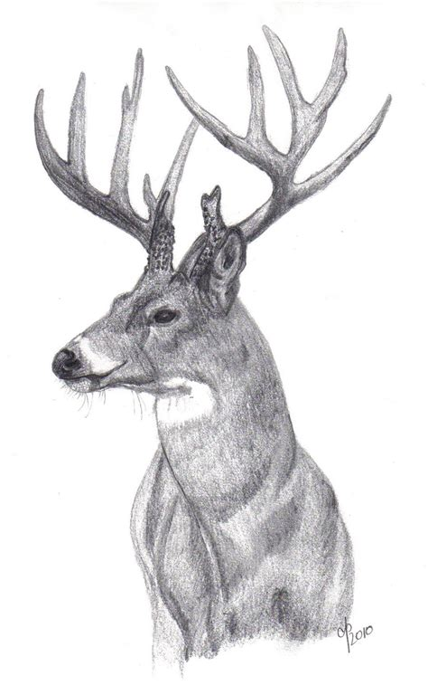 how is buck white whitetail buck by cbp323