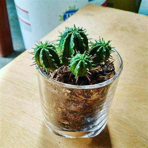 Jual Mini Kaktus Terarium Kaskus jual tanaman hias meja kamar kado souvenir terrarium