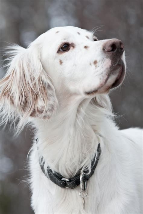 female english setter dog names 25 best ideas about english setter puppies on pinterest