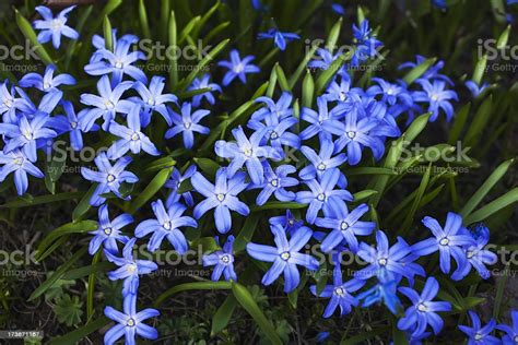 blue spring flowers   garden stock photo