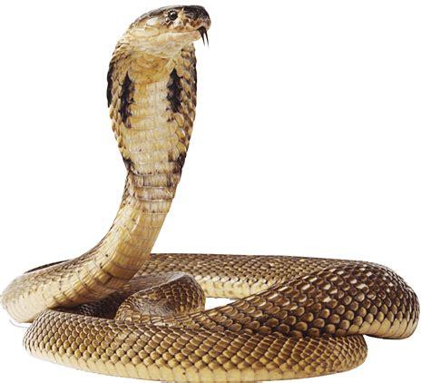 cobra snake transparent background