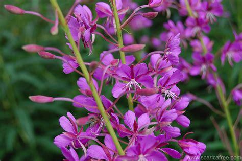 fiore selvatico fiore selvatico lilla 187 scaricafree
