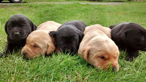 black lab puppies for sale in wisconsin yellow lab puppies for sale in wi 187 home design 2017