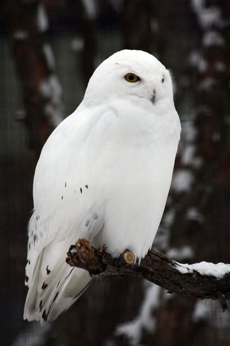 25 naughty and clever snowy owl