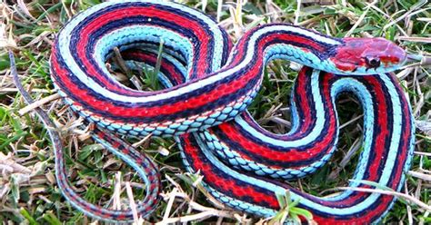 color pattern of poisonous snakes san francisco garter snake thamnophis sirtalis