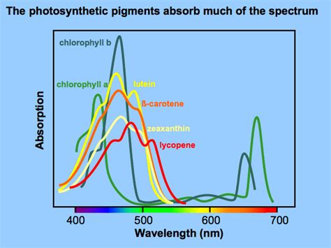 The Major Light Absorbing Pigment In Green Plant Photosynthesis Is by Light