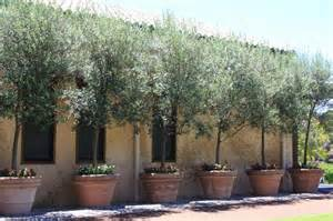 potted olive trees pots and planters