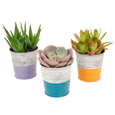3 5 in assorted succulents in a neon stripe galvanized