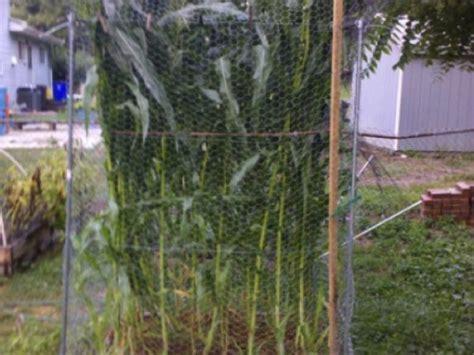 growing corn in backyard blog how to grow corn the square foot gardening way