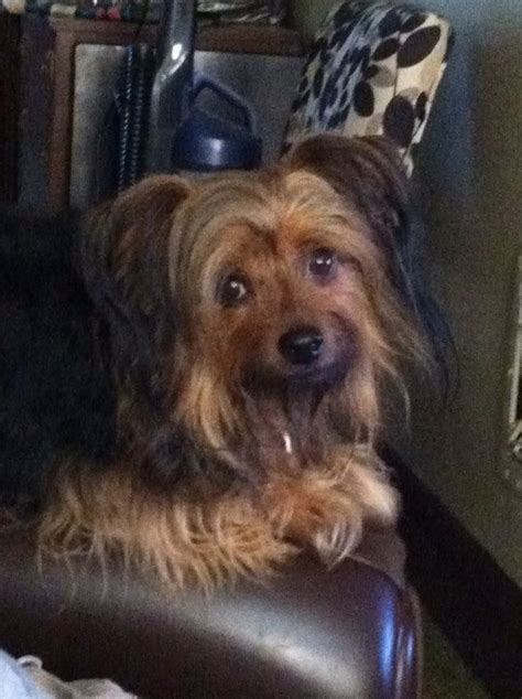 yorkie ton nicky the yorkie ton hybrid coton de tulear terrier mix breeds picture