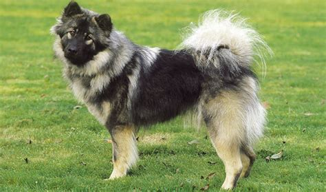 eurasier puppies eurasier breed information