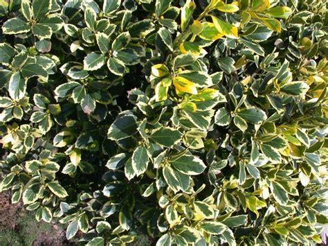 nomi piante da giardino cespugli sempreverdi piante da giardino