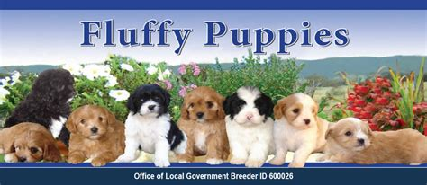 moodle themes for sale fluffy puppies for sale cavoodle moodle shoodle