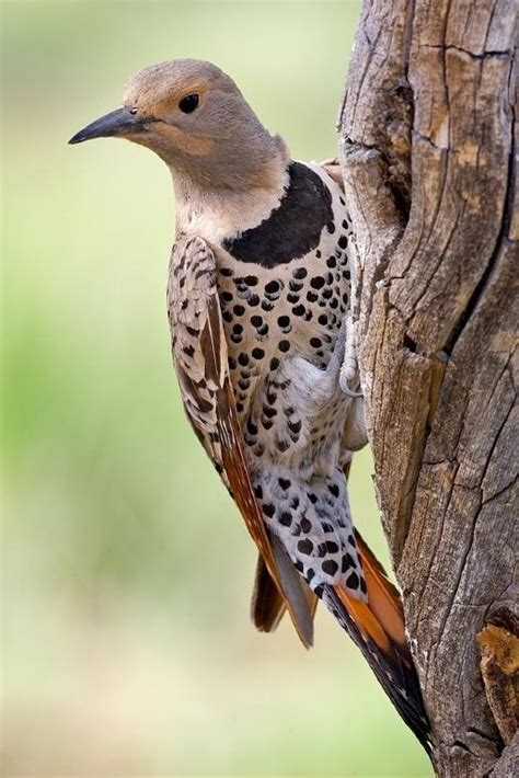 northern flicker birds of a feather pinterest