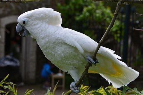 Rantai Burung Kakatua By Nd Pets white cockatoo