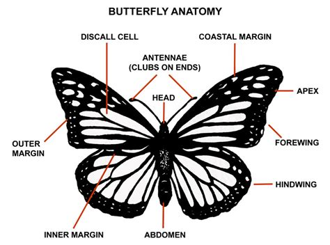 diagram of a butterfly butterfly anatomy 5 pictures of monarch butterfly