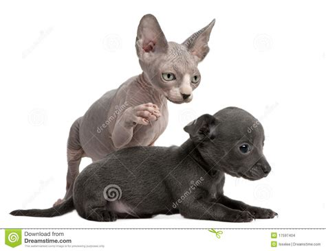 Chihuahua Puppy Interacting Witha Sphynx Kitten Stock
