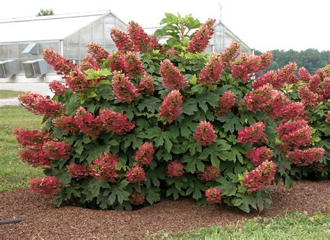 ruby slippers oakleaf hydrangea oakleaf hydrangea ruby slippers garden housecalls