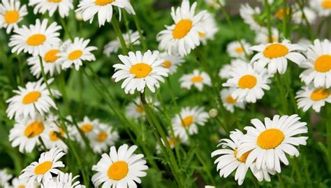 daisy facts 4 delightful daisy facts