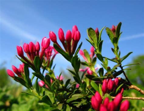 piante da giardino resistenti al gelo piante che resistono al freddo la dafne pollicegreen
