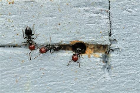 eliminare formiche giardino combattere invasione di formiche pollicegreen