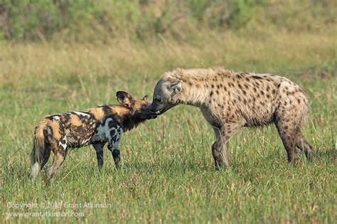spotted dogs friendly enemies and spotted hyaena
