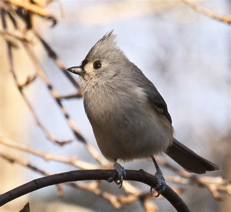 tails of birding tufted titmouse small bird with a crest