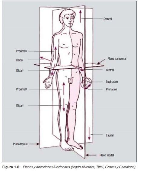 anatoma para posturas de 8415053150 posiciones b 193 sicas del cuerpo humano categor 237 a antropolog 237 a conocimientos basicos