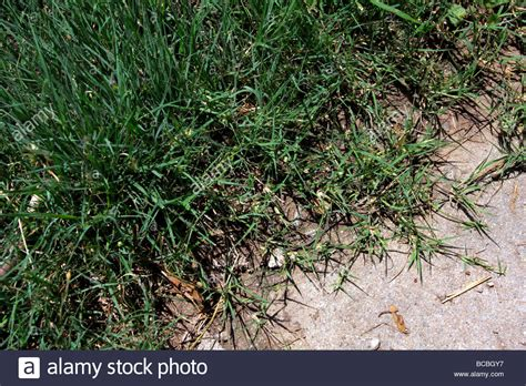 couch grass runners buffalo grass quot runners quot creeping onto concrete stock photo
