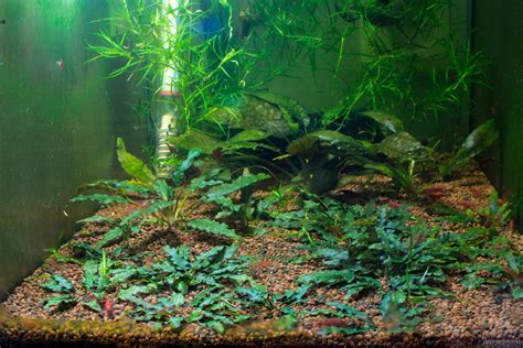 cryptocoryne aquascape cryptocoryne pygmaea flowgrow aquatic plant database