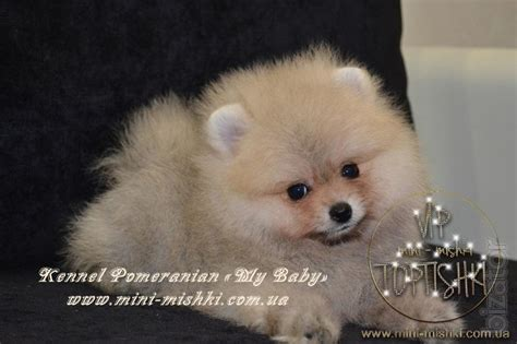 pomeranian colors exclusive puppies pomeranian spitz colors vip classa type bears buy on www