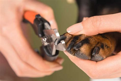 how to cut puppies nails how to trim puppy nails without a fuss fear free happy homes