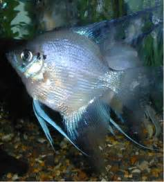 Blue Freshwater Angelfish Blue blusher angelfish with