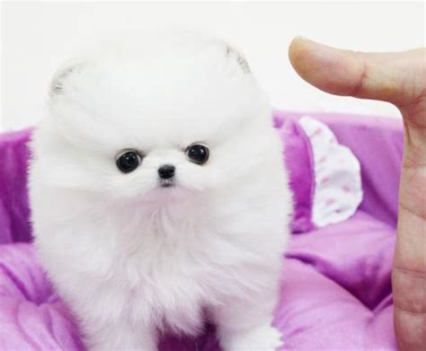 white pomeranian puppies for free white tiny pomeranian puppies for sale free classifieds