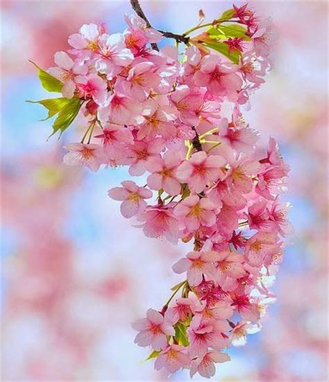 Cherry Blossom Goodness by 10 Best Juju Images On Ideas